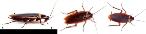 American cockroach Identification Perth