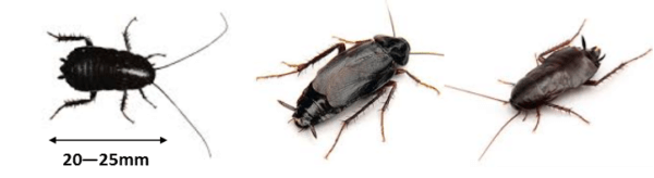 Oriental Cockroach Identification Perth