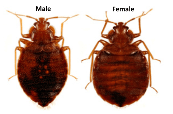 Bed Bugs Budget Pest Control